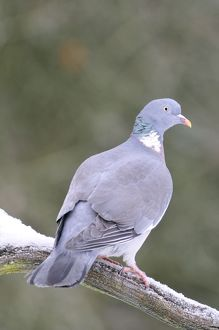 JD-21859 BIRD. Woodpigeon