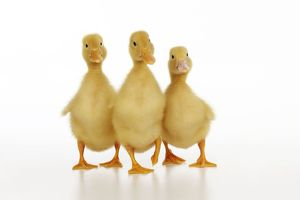 JD-21865 DUCK. Three ducklings stood in a row