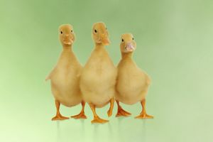 JD-21865-M DUCK. Three ducklings stood in a row