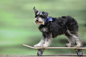 JD-21875 DOG. Schnauzer on skateboard