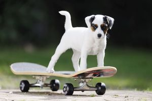 JD-21879 DOG. Parson jack russell terrier puppy on skateboard
