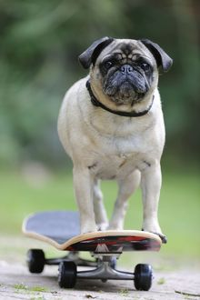 JD-21880 DOG. Pug on skateboard