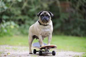 JD-21881 DOG. Pug on skateboard