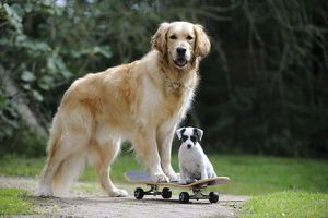 JD-21885 DOG. Golden retriever and parson jack russell terrier puppy on skateboard