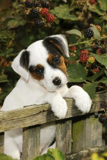 JD-21890 DOG. Parson jack russell terrier puppy looking over fence