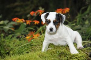 JD-21891 DOG. Parson jack russell terrier puppy sitting down