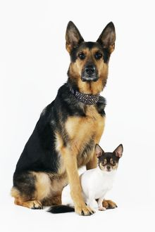 JD-22062 DOG German shepherd sitting with chihuahua in between feet