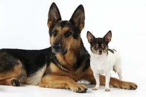 JD-22063 DOG Chihuahua standing next to a german shepherd laying down