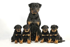 JD-22065 DOG Rottweiler sat with four Rottweiler puppies