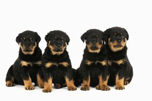 JD-22066 DOG Rottweiler puppies sat in a row