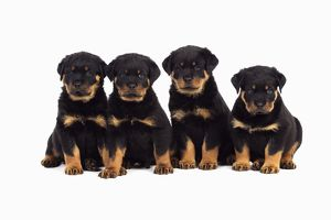 JD-22067 DOG Rottweiler puppies sat in a row