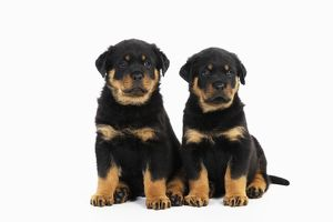 JD-22068 DOG Rottweiler puppies sitting next to each other