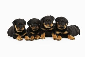 JD-22069 DOG Rottweiler puppies laying in a row
