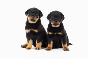 JD-22070 DOG Rottweiler puppies sitting next to each other