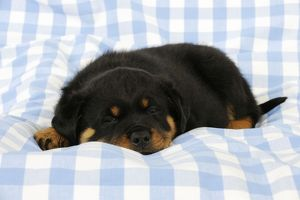 JD-22072 DOG Rottweiler puppy laying down on blanket