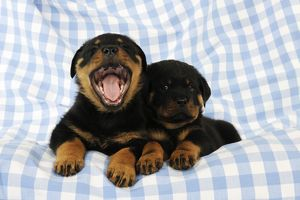 JD-22075 DOG Rottweiler puppies laying together one of them yawning