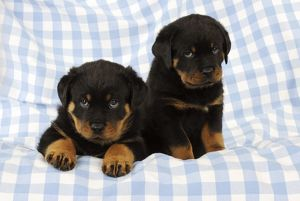 JD-22076 DOG Rottweiler puppy sitting next to puppy laying down on blanket