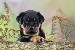 JD-22078 DOG Rottweiler puppy looking over log
