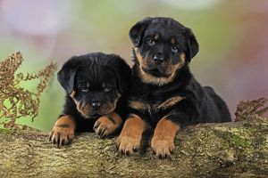 JD-22080 DOG Rottweiler puppies looking over log