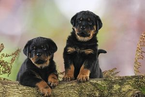 JD-22081 DOG Rottweiler puppies looking over log