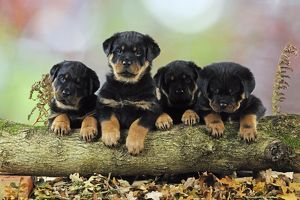 JD-22082 DOG Rottweiler puppies in a row looking over log