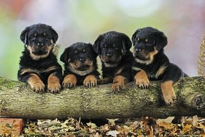 JD-22083 DOG Rottweiler puppies in a row looking over log