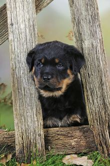 JD-22084 DOG Rottweiler puppy looking through fence
