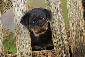 JD-22085 DOG Rottweiler puppy looking through fence