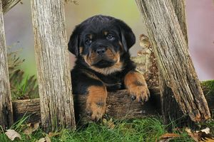 JD-22086 DOG Rottweiler puppy looking through fence