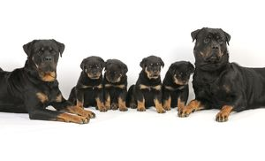 JD-22093 DOG. Rottweiler dogs sitting with four rottweiler puppies in between them