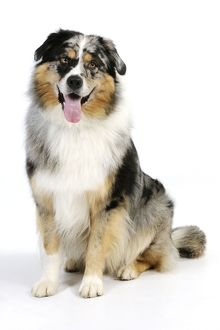 JD-22095 DOG. Australian shepherd dog sitting