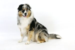 JD-22096 DOG. Australian shepherd dog sitting