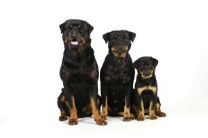 JD-22101 DOG. Rottweiler puppy sitting next to two adult rottweilers sitting