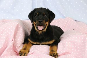 JD-22107 DOG. Rottweiler puppy with tongue out lying down on blanket