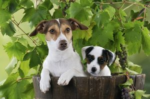 JD-22183 DOG. Jack russell terrier and parson jack russell terrier puppy in a barrel