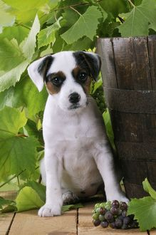 JD-22185 DOG. Parson jack russell terrier puppy next to barrel with grapes