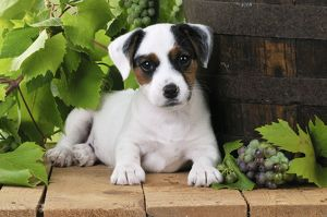 JD-22186 DOG. Parson jack russell terrier puppy next to barrel with grapes