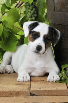 JD-22187 DOG. Parson jack russell terrier puppy next to barrel with grapes