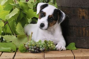 JD-22188 DOG. Parson jack russell terrier puppy next to barrel with grapes