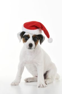 JD-22189 DOG. Parson jack russell terrier puppy wearing a christmas hat