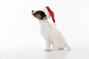 JD-22190 DOG. Parson jack russell terrier puppy wearing a christmas hat