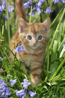 JD-22220 KITTEN. ( ginger) in bluebells