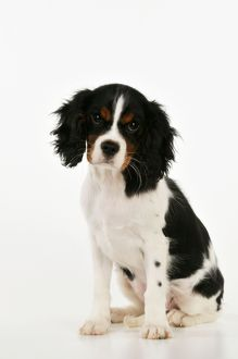 JD-22232 DOG. Cavalier king charles spaniel puppy sitting