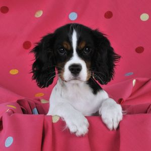 JD-22233-C DOG. Cavalier king charles spaniel puppy sitting on spotty blanket
