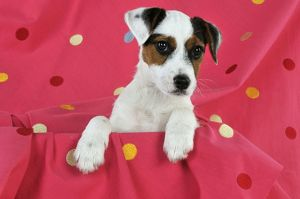 JD-22234 DOG. Parson jack russell terrier puppy sitting on spotty blanket