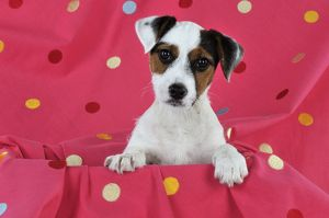 JD-22235 DOG. Parson jack russell terrier puppy sitting on spotty blanket