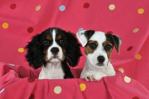 JD-22236 DOG. Cavalier king charles spaniel puppy and parson jack russell terrier
