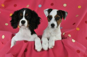 JD-22237 DOG. Cavalier king charles spaniel puppy and parson jack russell terrier
