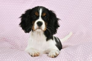 puppies/jd 22238 dog cavalier king charles spaniel puppy