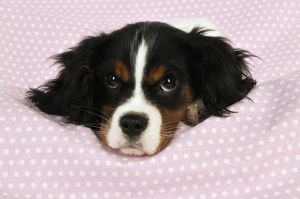 JD-22239 DOG. Cavalier king charles spaniel puppy lying on spotty blanket